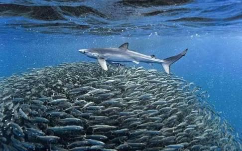 tubarão e cardume